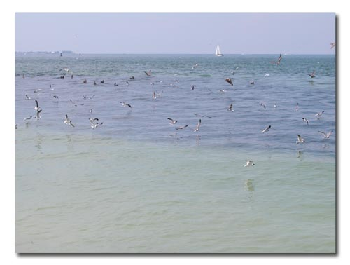 Birds and bait fish meet at the Gulf Pier